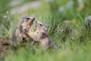 Marmotte des Alpes - Alpine Marmot - Marmota marmota - Vanoise - Savoie - France